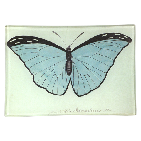 Blue Papilio (Butterfly)