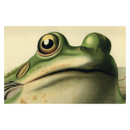 Frog Close-Up - FINAL SALE