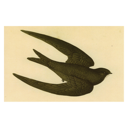 Swift Bird