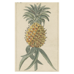 Pineapple - FINAL SALE