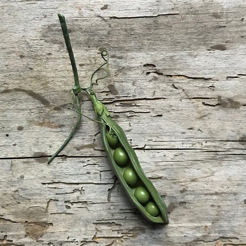 Porcelain Open Pea Pod with Tendrils
