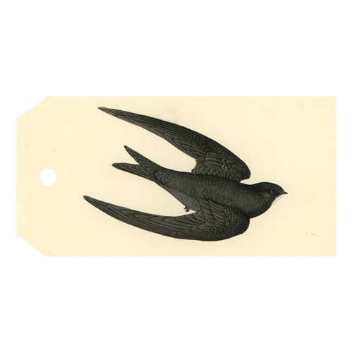 Swift Bird (Swallow)