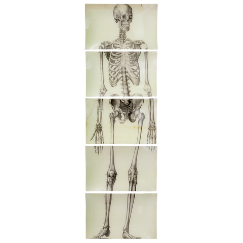 Skeleton, Front View (5 Pieces)