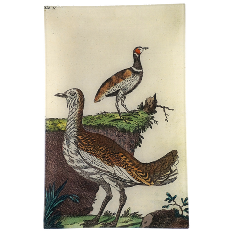 Wilhem's Birds Bustards Little & Great