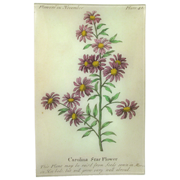 Carolina Starflower (Floral)