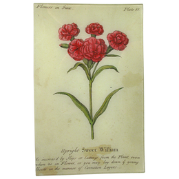 Sweet William (Floral)