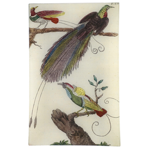 Wilhem's Birds King Bird of Paradise