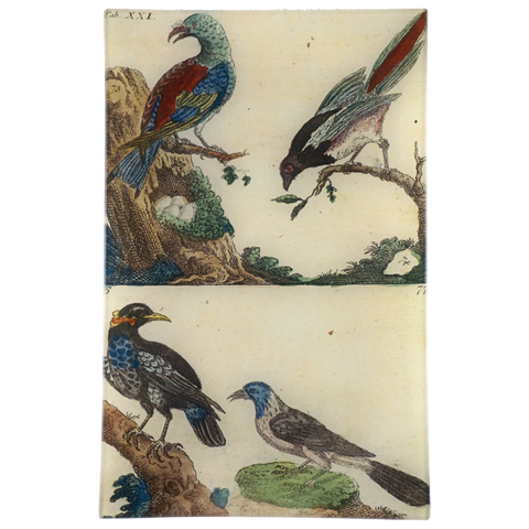 Wilhem's Birds Tattler & Grackle