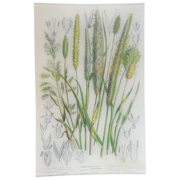 Cultivated Canary Grass