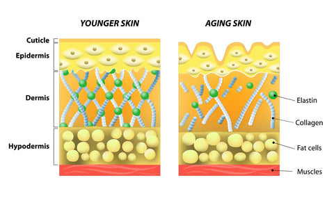 layers of skin, collagen, youthful skin