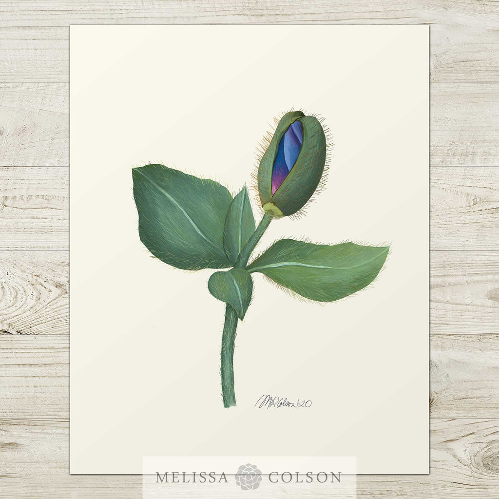 Himalayan Blue Poppy (1 of 3) Giclée Watercolor Art Print - Melissa Colson