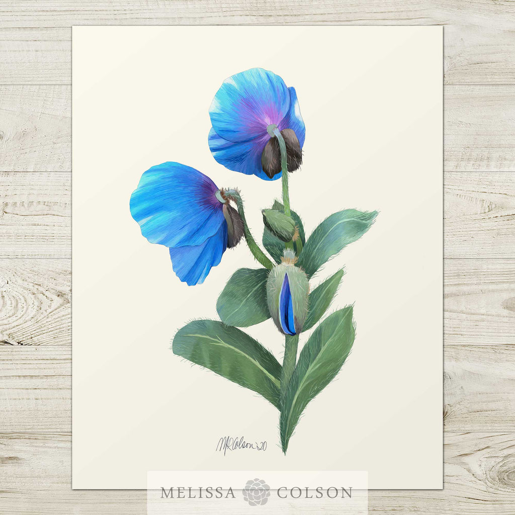 Himalayan Blue Poppy (2 of 3) Giclée Watercolor Art Print - Melissa Colson