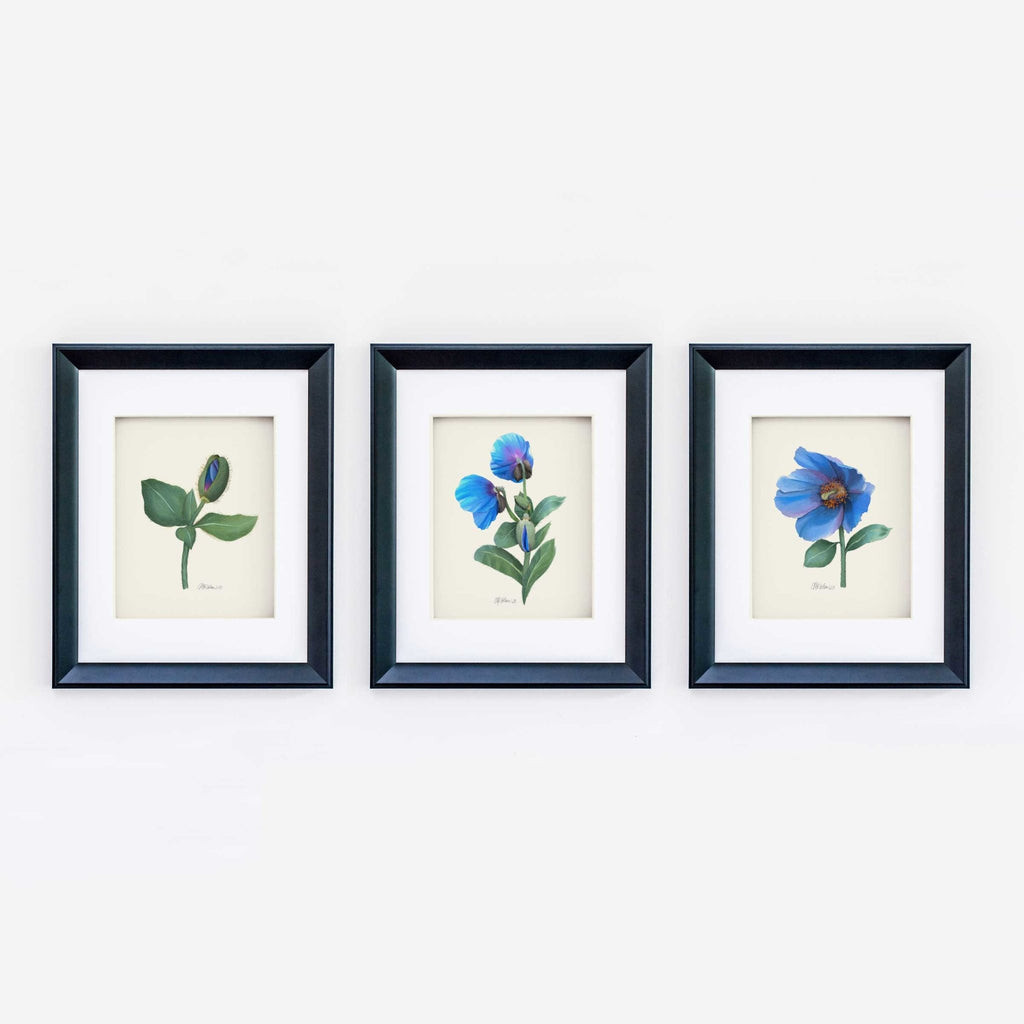 Himalayan Blue Poppy (3 of 3) Giclée Watercolor Art Print - Melissa Colson