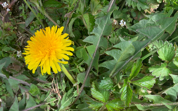 Dandelions-annoying weed or amazing healer?