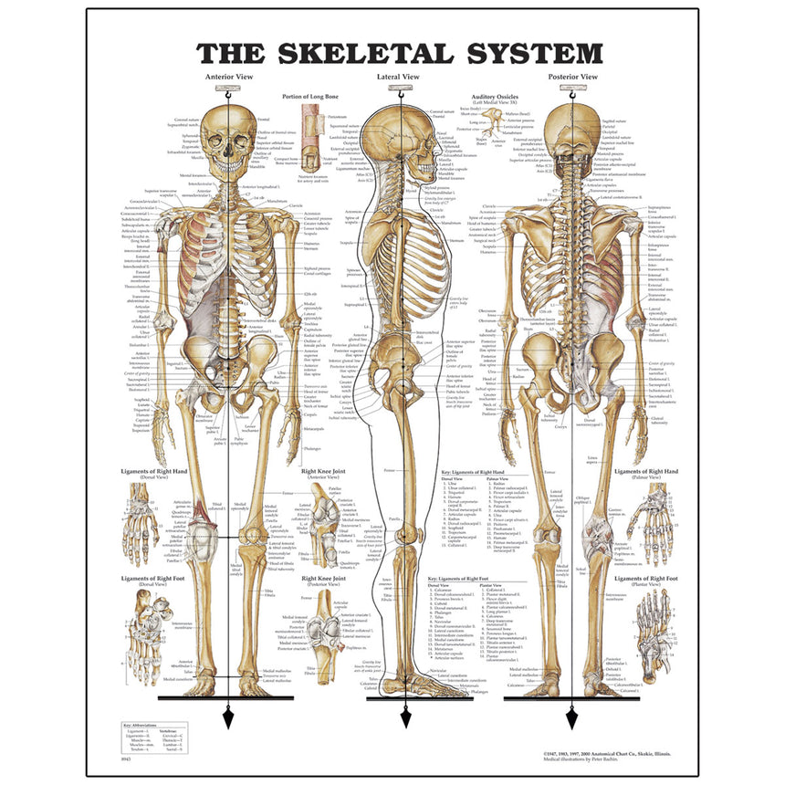 Peter Bachin Anatomical Chart Series - Skeletal System