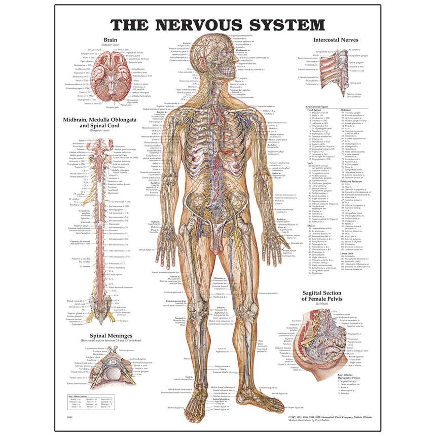 Peter Bachin Anatomical Chart Series - Nervous System