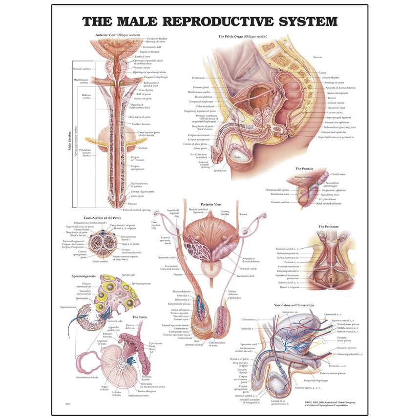 Peter Bachin Anatomical Chart Series - Male Reproductive System
