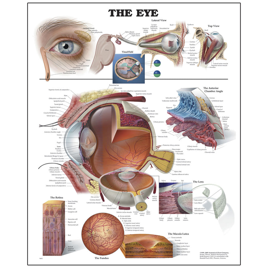 Peter Bachin Anatomical Organ/Structures Chart Series - Eye