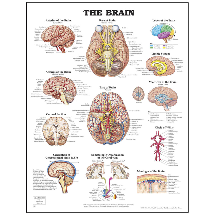 Peter Bachin Anatomical Organ/Structures Chart Series - Brain