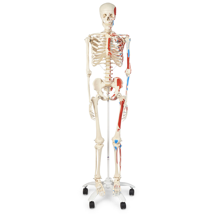 American 3B Advanced Skeleton with Muscles