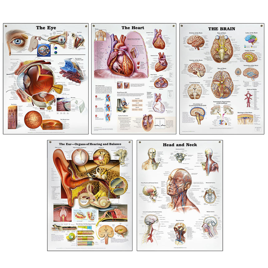 Peter Bachin Anatomical Organs/Structures Chart Set