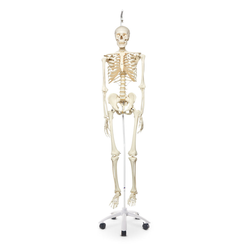 Stan the Standard Skeleton 5 ft. 6 in. (170 cm) - Includes 5-Arm Hanging Roller Stand (73-1/4 in)