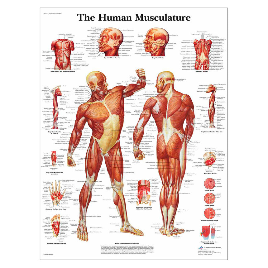 Classic Laminated 3B Scientific® Anatomical Chart for Human Musculature