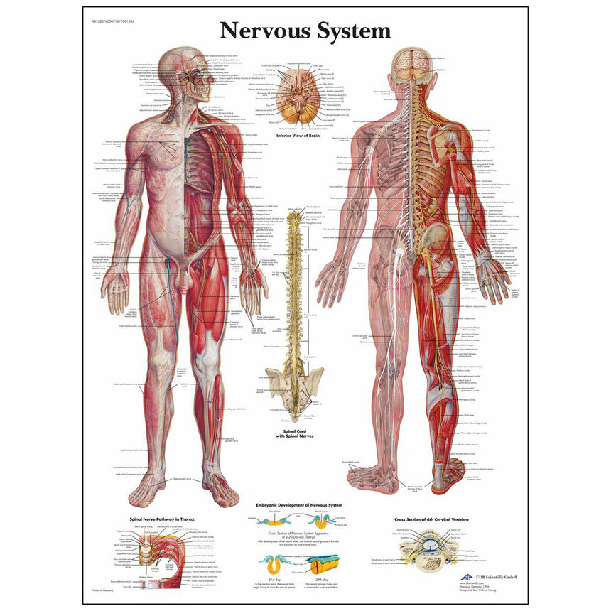 Classic Laminated 3B Scientific® Anatomical Chart for the Nervous System