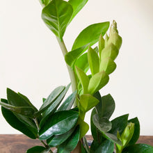 Load image into Gallery viewer, ZZ Plant - Zamioculcas zamiifolia