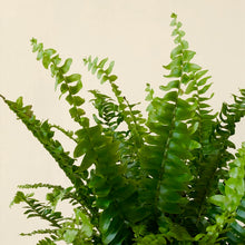 Load image into Gallery viewer, Boston Fern - Nephrolepis exaltata