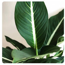 Load image into Gallery viewer, Golden Pothos - Epipremnum aureum
