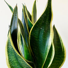 Load image into Gallery viewer, Snake Plant - Sansevieria Futura Superba