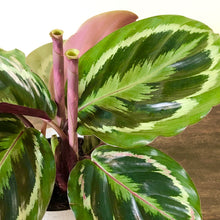Load image into Gallery viewer, Calathea 'Medallion'