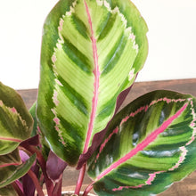 Load image into Gallery viewer, Calathea roseopicta