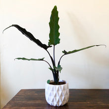 Load image into Gallery viewer, Alocasia Elephants Ear - Alocasia Lauterbachiana