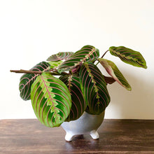 Load image into Gallery viewer, Prayer Plant - Marantha leuc. Tricolour