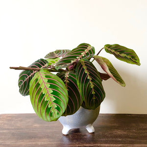 Prayer Plant - Marantha leuc. Tricolour