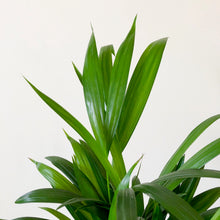 Load image into Gallery viewer, Areca Palm - Dypsis lutescens