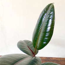 Load image into Gallery viewer, Rubber Plant - Ficus Elastica Abidjan