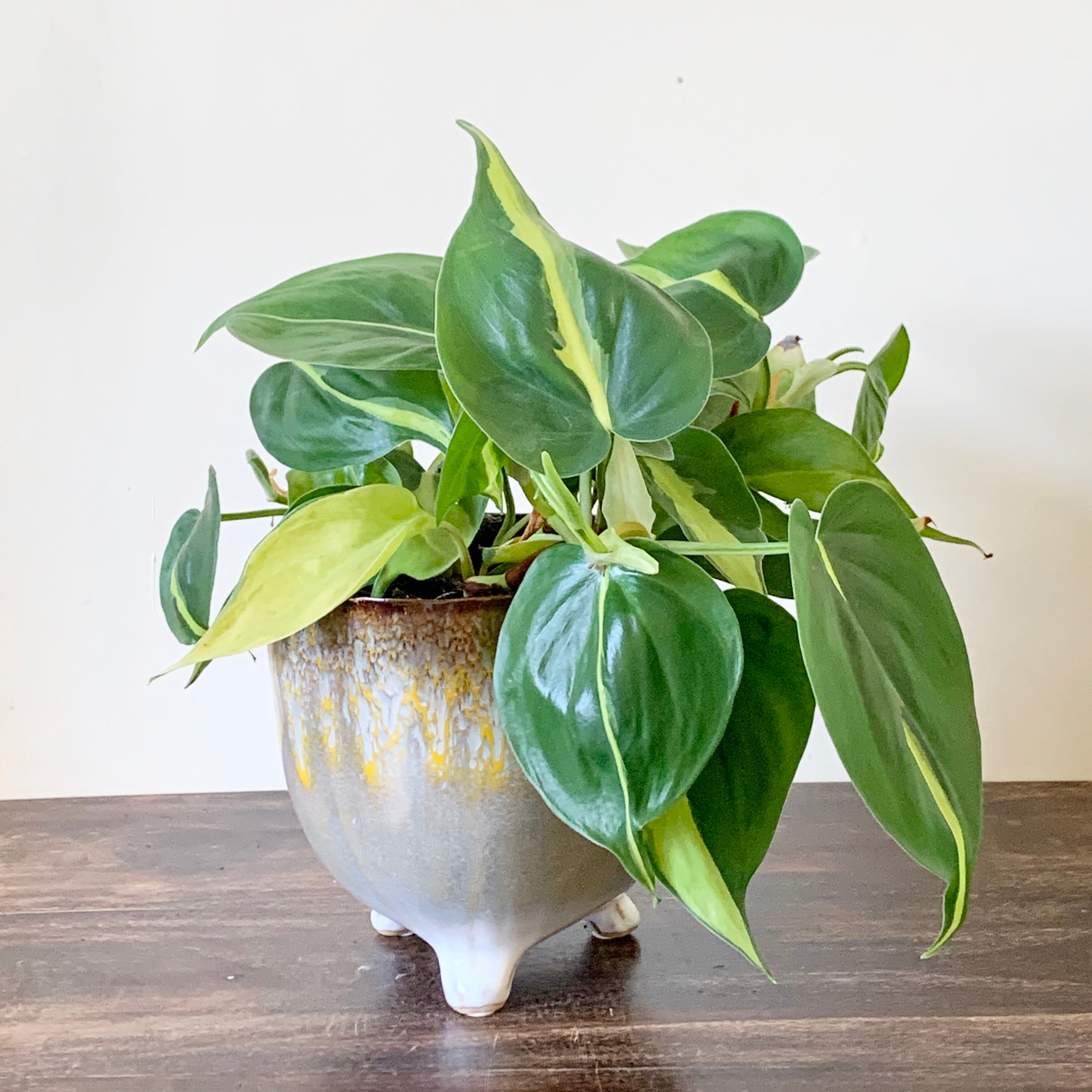 Sweetheart Plant - Philodendron scandens Brasil