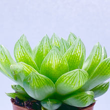 Load image into Gallery viewer, Haworthia cooperi