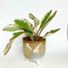 Load image into Gallery viewer, Peperomia Clusiifolia Jelly