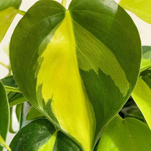 Load image into Gallery viewer, Sweetheart Plant - Philodendron scandens Brasil