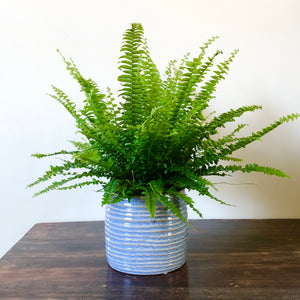 Boston Fern - Nephrolepis exaltata