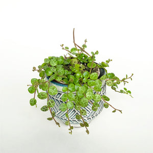 String of Turtles - Peperomia Prostrata