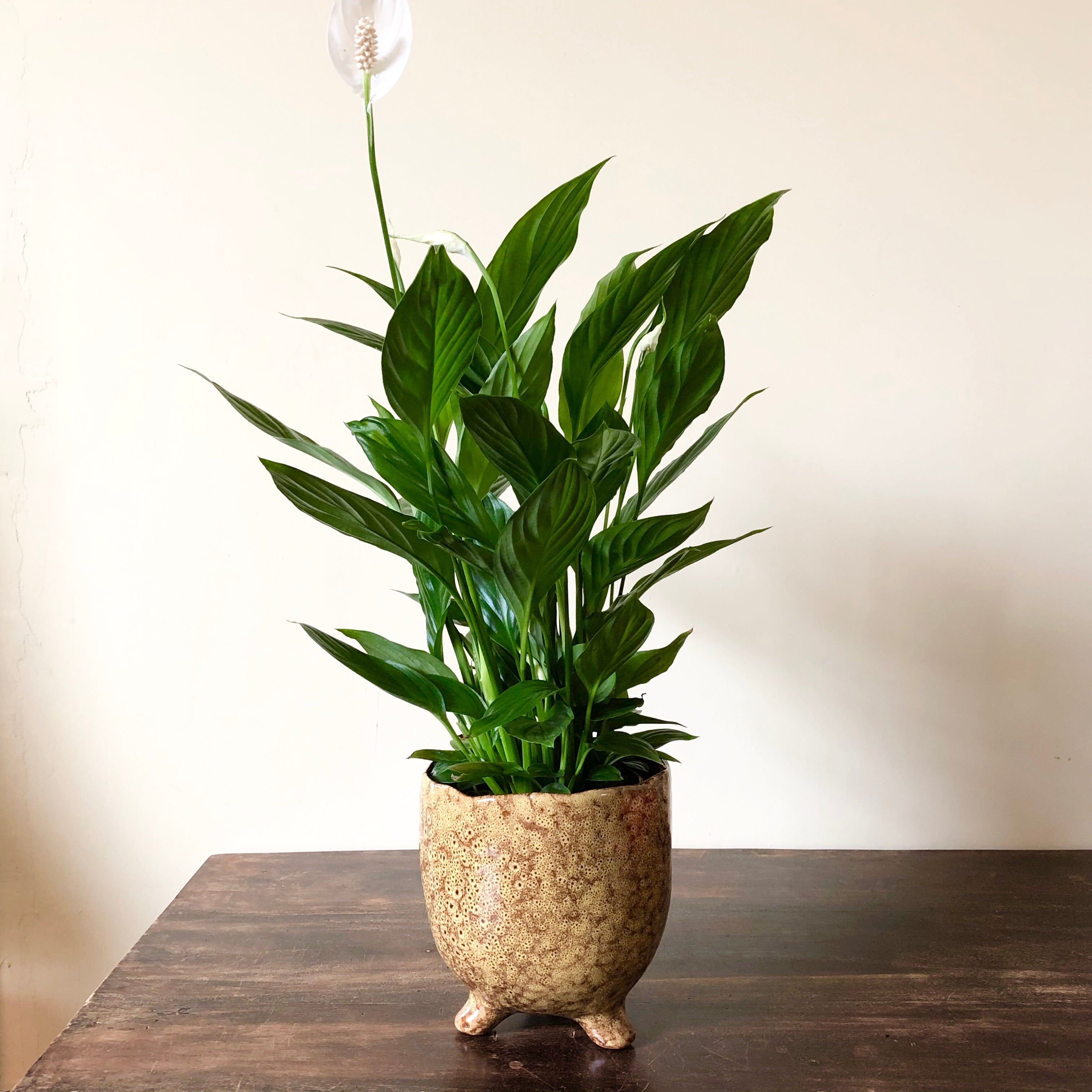 Peace Lily - Spathiphyllum