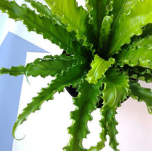 Load image into Gallery viewer, Bird's nest Fern -Asplenium Osaka