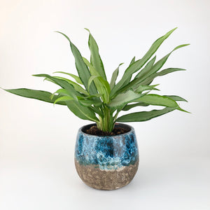Aglaonema White Lance - Chinese Evergreen