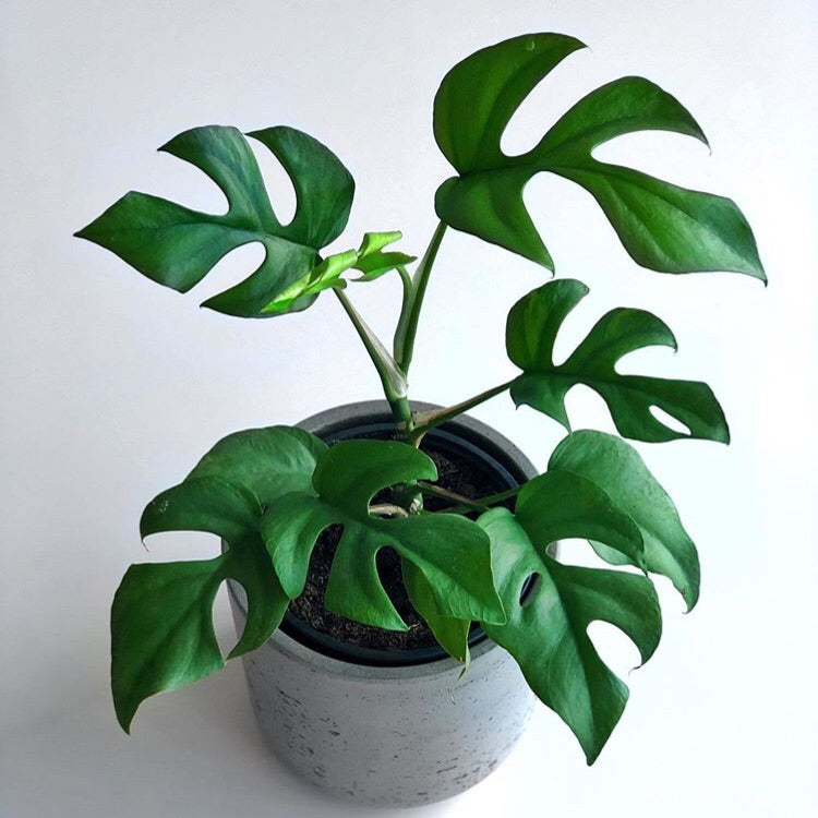 Mini Monstera - Philodendron 'Minima'