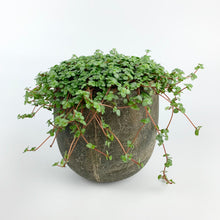 Load image into Gallery viewer, Silver Sparkle Pilea - Pilea Glauca Greysy